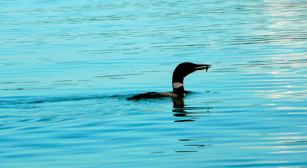 Loon with fish.